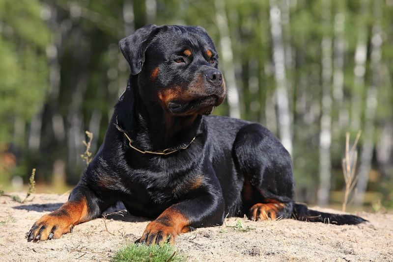 Owners Of Aggressive Dog Breeds Are More Hostile Rottweiler Dog