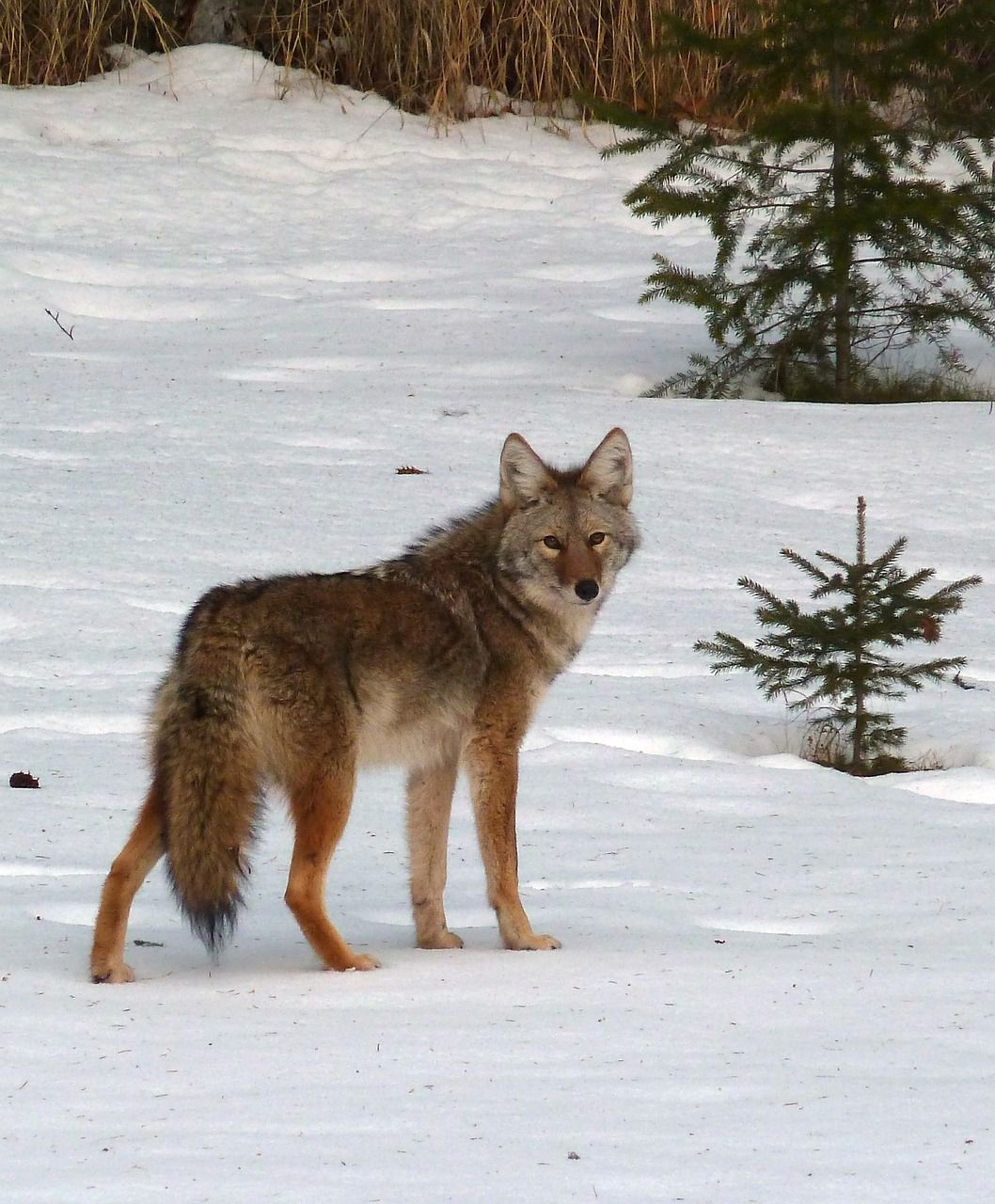 Free Image On Pixabay Coyote Canis Latrans Animal Coyote