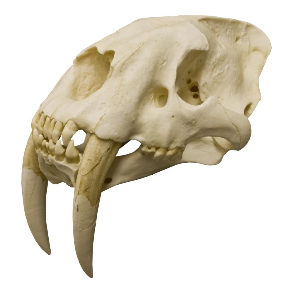 Replica Sabertooth Cat Skull Cat Skull Animal Skulls Sabertooth
