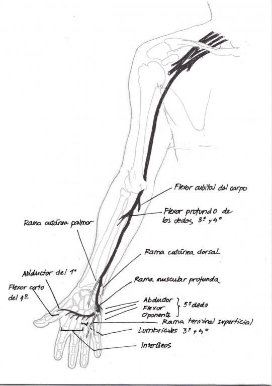 recorrido del nervio cubital 0 jpg  541 u00d7768