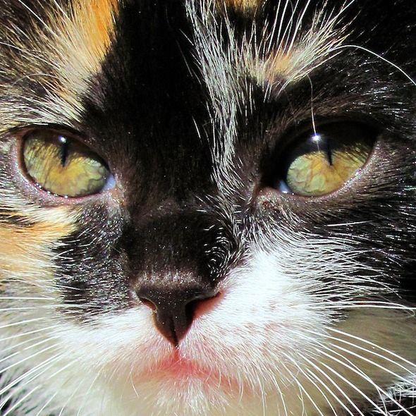 Calico Kitten Godiva