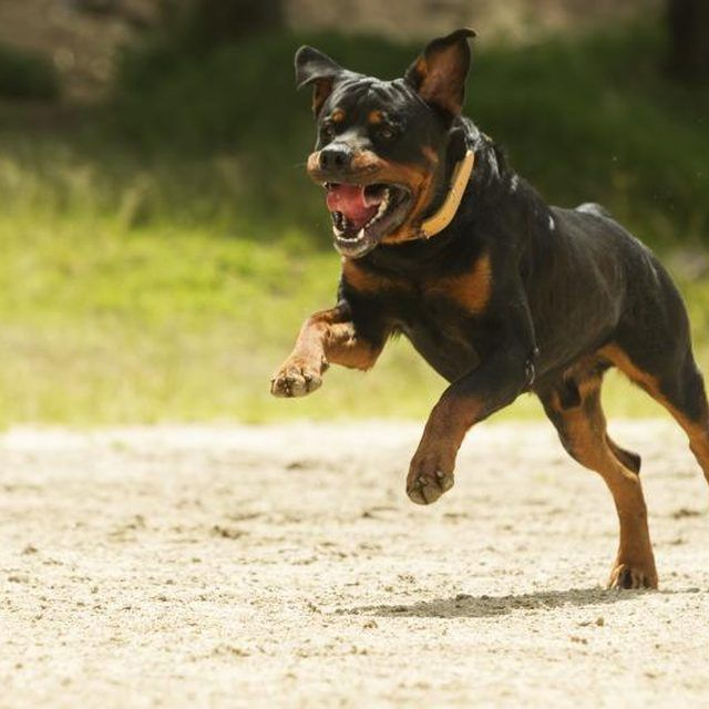 Why Do Some Rottweilers Have White Spots On The Chest Rottweiler