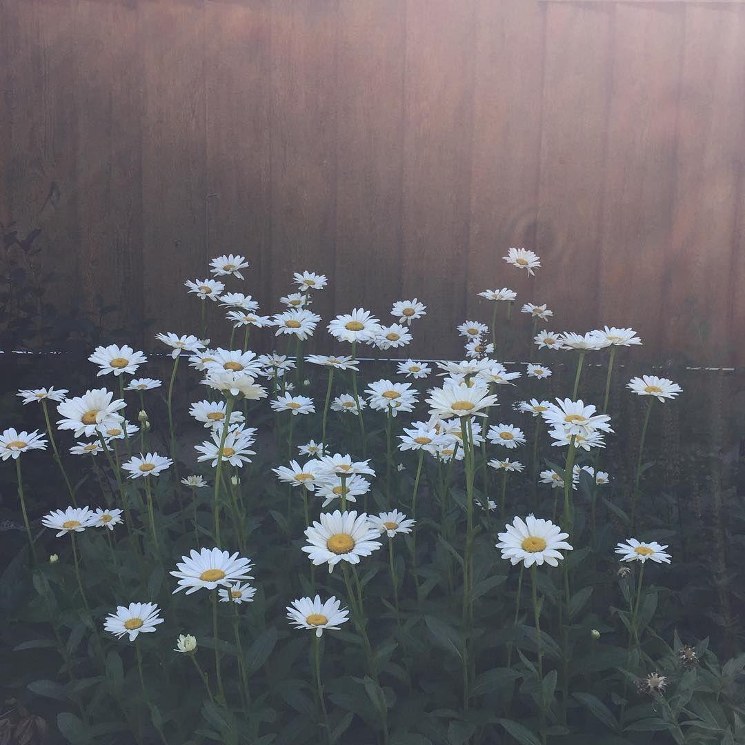 Dreamy Daisy Patch in my Mom's Garden Instagram Image thebirdsandthebeets.com