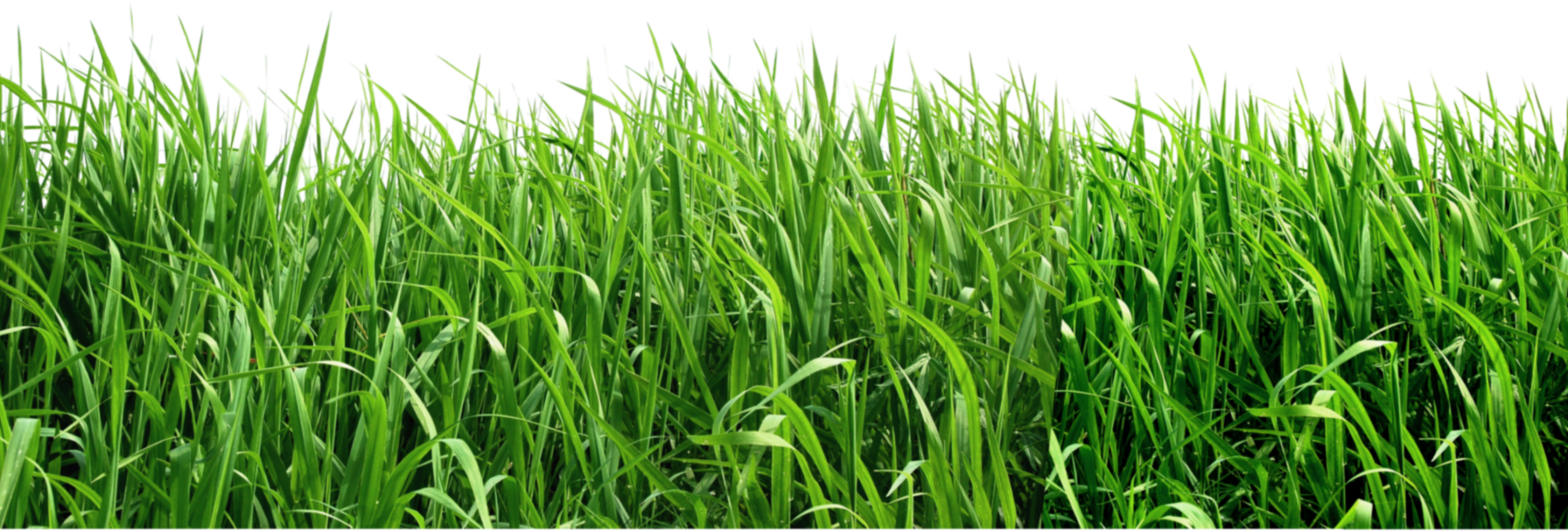 Grass png clipart picture projects pinterest for Best grasses for borders