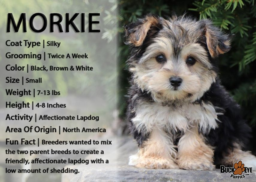 Morkielove Ever Wanted A Super Smalldog To Cuddle With The Happygolucky Morkie Will Do Just The Job Morkie Puppies Morkie Dogs Morkie Puppies For Sale