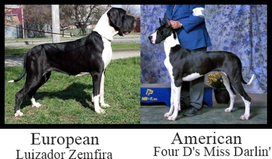 Home Of Champion Bred American And European Lined Great Danes