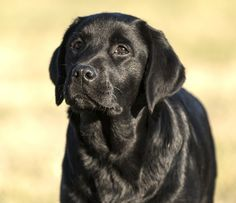 English Labrador Puppy Breeder In Jacksonville Florida Labrador