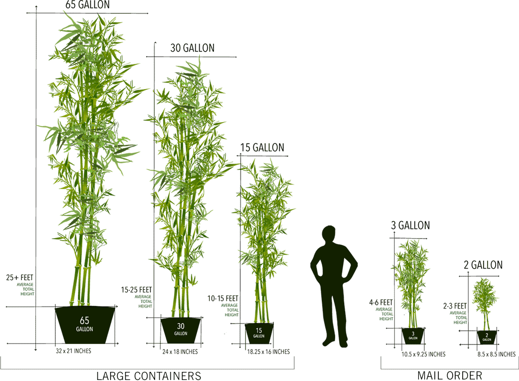 Larger bamboo plants are ideal for customer wanting an