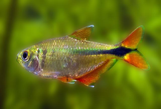 Buenos Aires Tetra Care Feeding And Breeding Tropical Freshwater Fish Freshwater Aquarium Fish Freshwater Aquarium