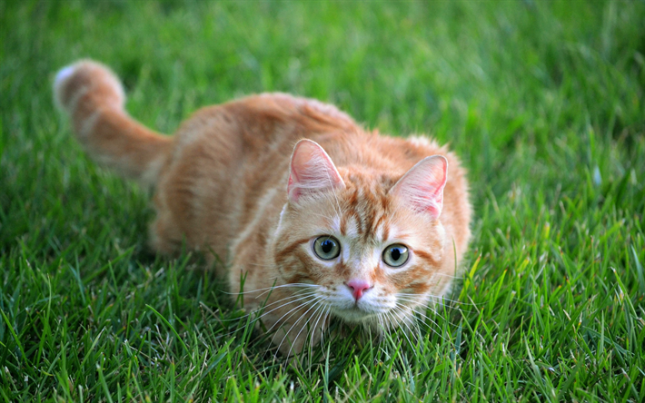 Download wallpapers ginger cat in the grass, shorthair cat