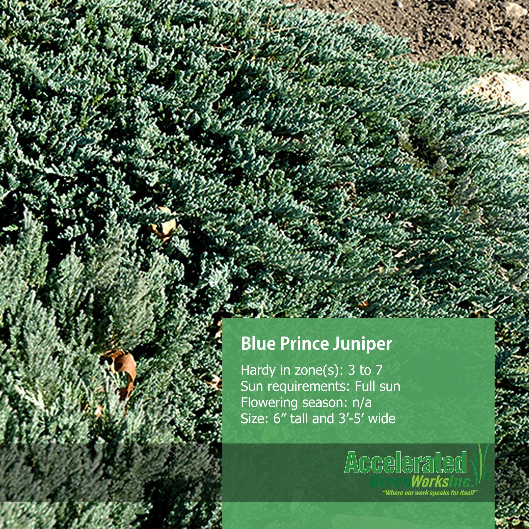 Fat albert spruce evergreens pinterest evergreen and gardens blue prince juniper reviewsmspy