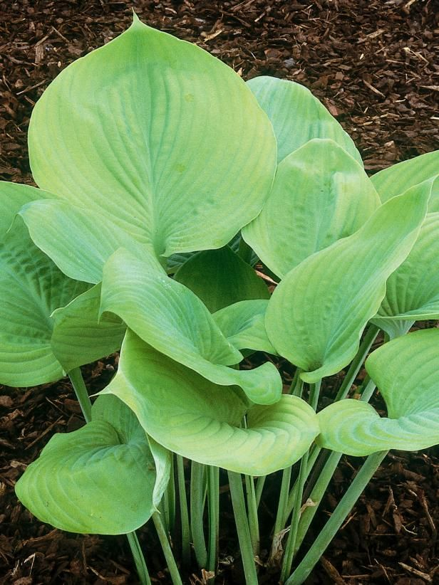 Learn About Hosta Sum And Substance From Experts At Diy Network Is A Gigantic Sun Tolerant Slug Resistant