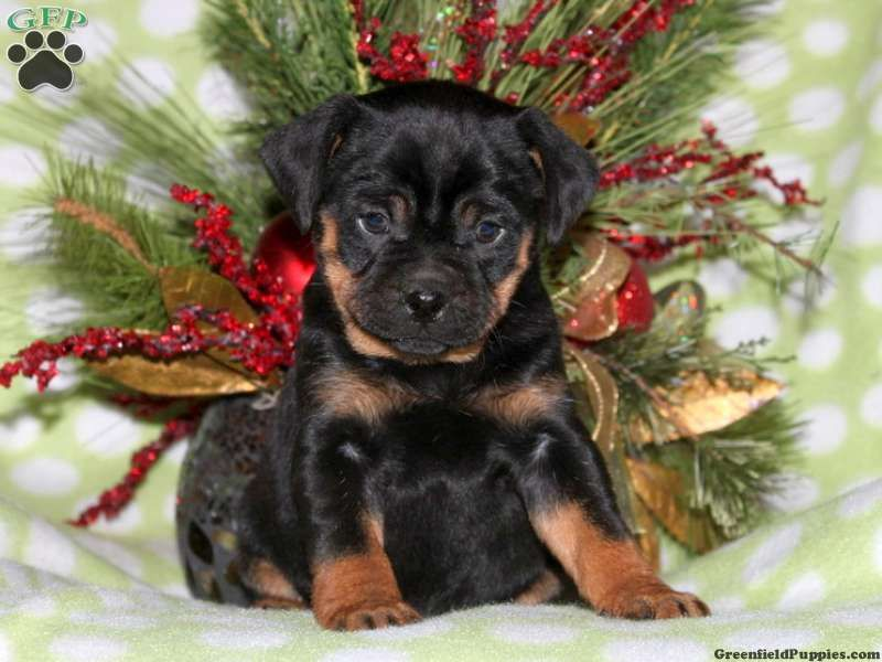 Bruce Miniature Rottweiler Puppy For Sale From Kinzers Pa