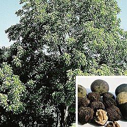 Black Walnut Tree Nut Trees Fruit And Gurney S Seed Nursery