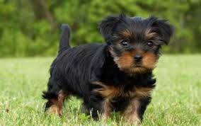 Brown Maltese Puppies Google Search Morkie American Bulldog Puppies Bulldog Puppies