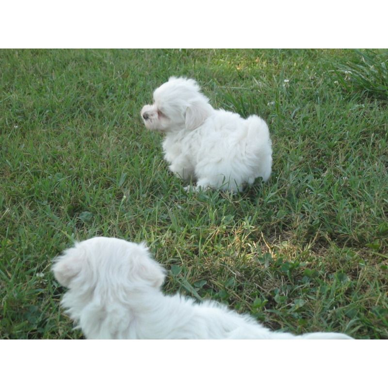 Happy Feet Kennel Puppies For Sale Malte Poos Maltipoos