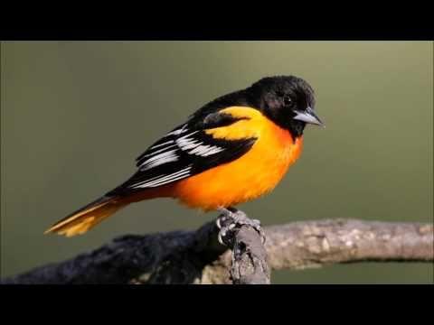 Youtube Oriole Bird Baltimore Orioles Birds Beautiful Birds