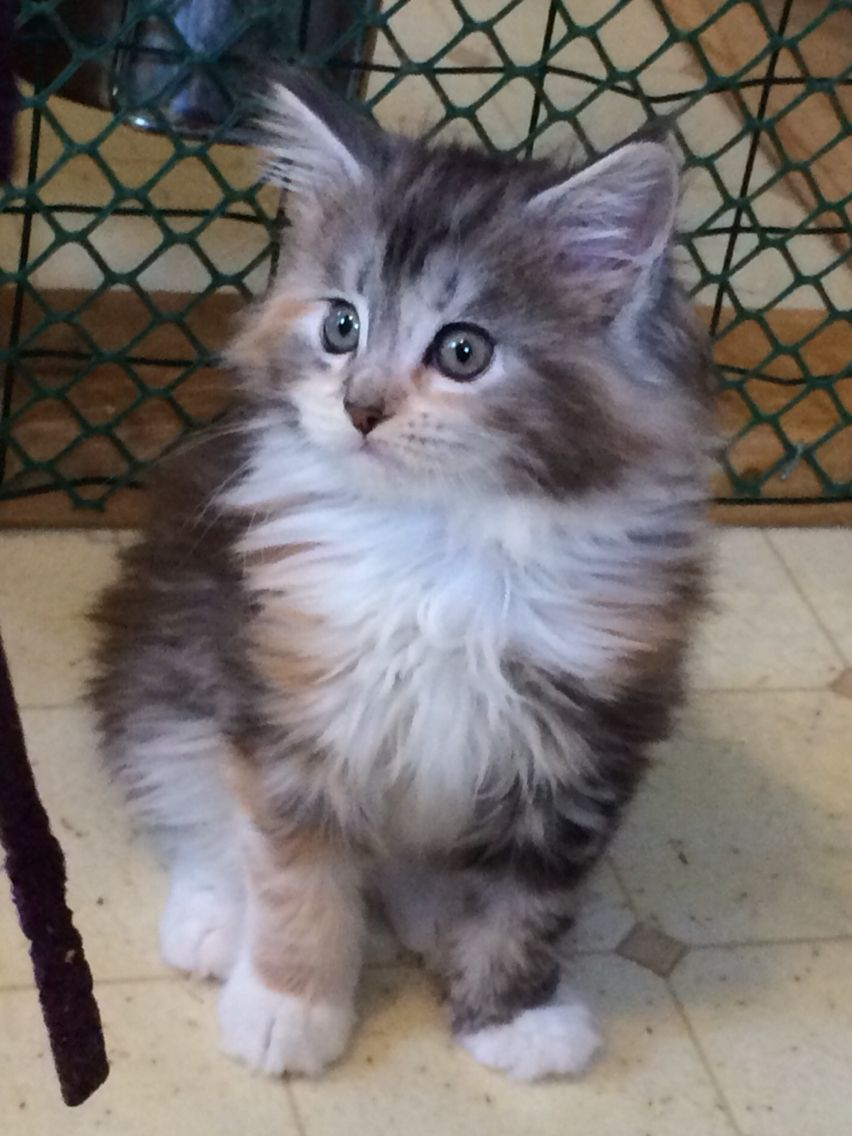 All About Maine Coon Kittens For Sale In Virginia Kidskunst Info