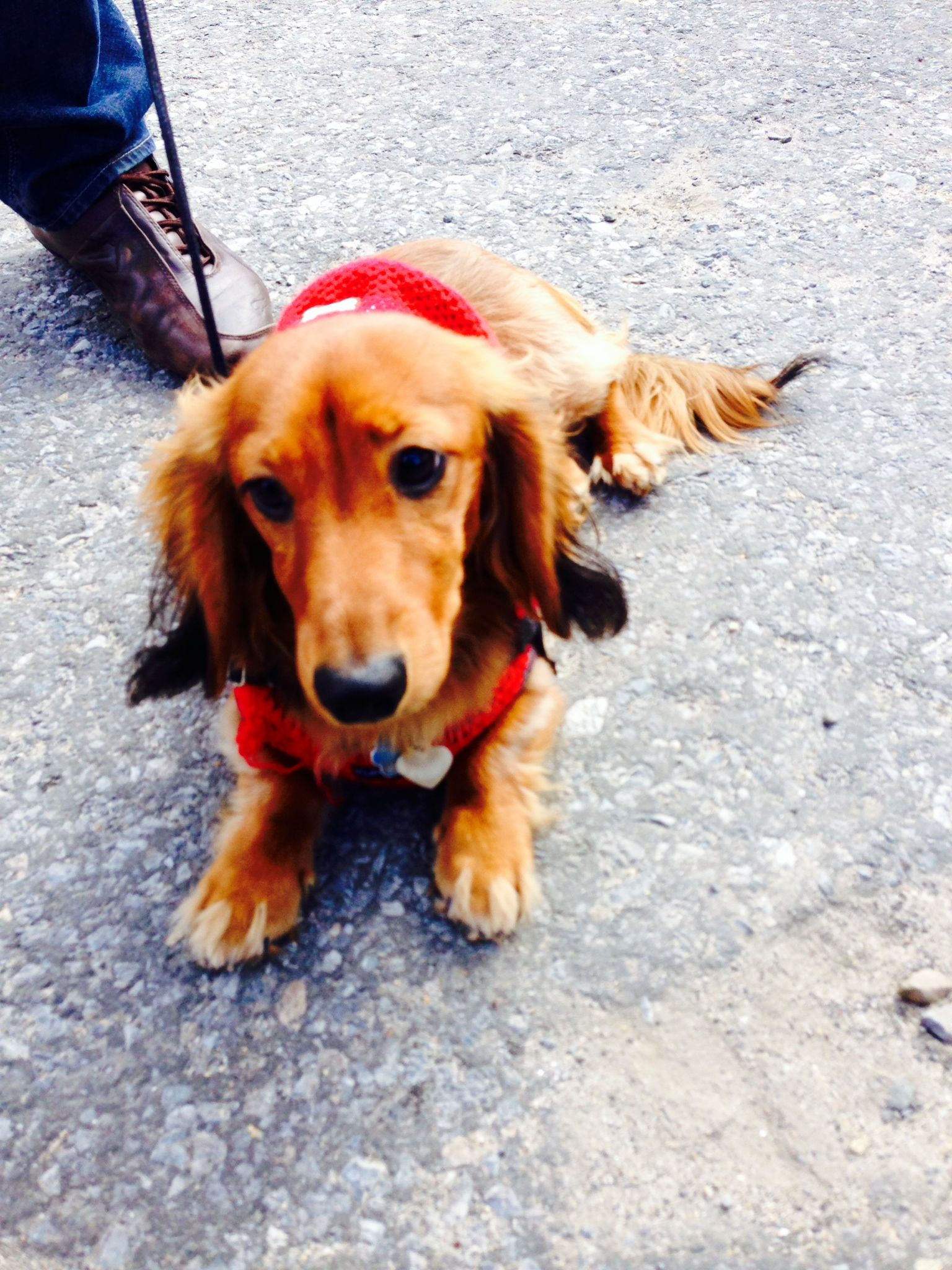 My long haired mini dachshund and i went to in