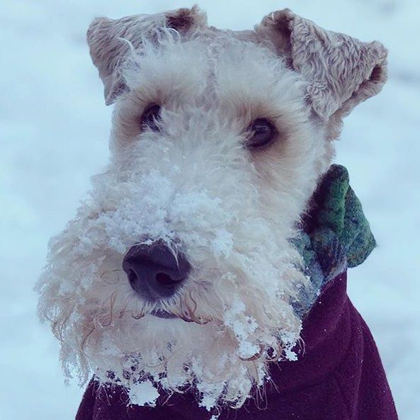 Keeping it classy in the snow #wirefoxterrier #snow #dapperdogs ...