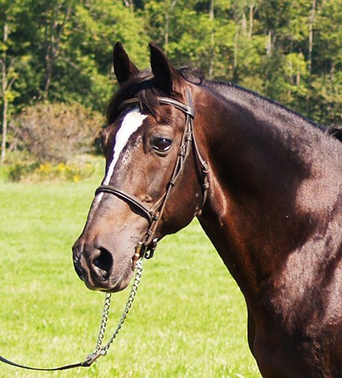 Temis Vagabond Rubi, Canadian stallion owned by CanaDream farm