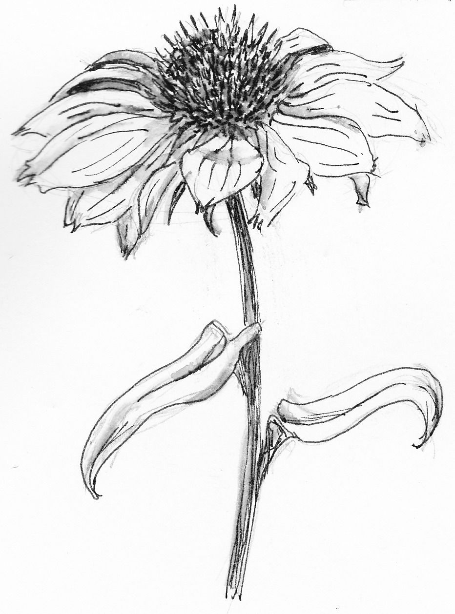 Aster Flower Drawing Google Search Flower Drawing Aster Flower Tattoos Flower Sketches