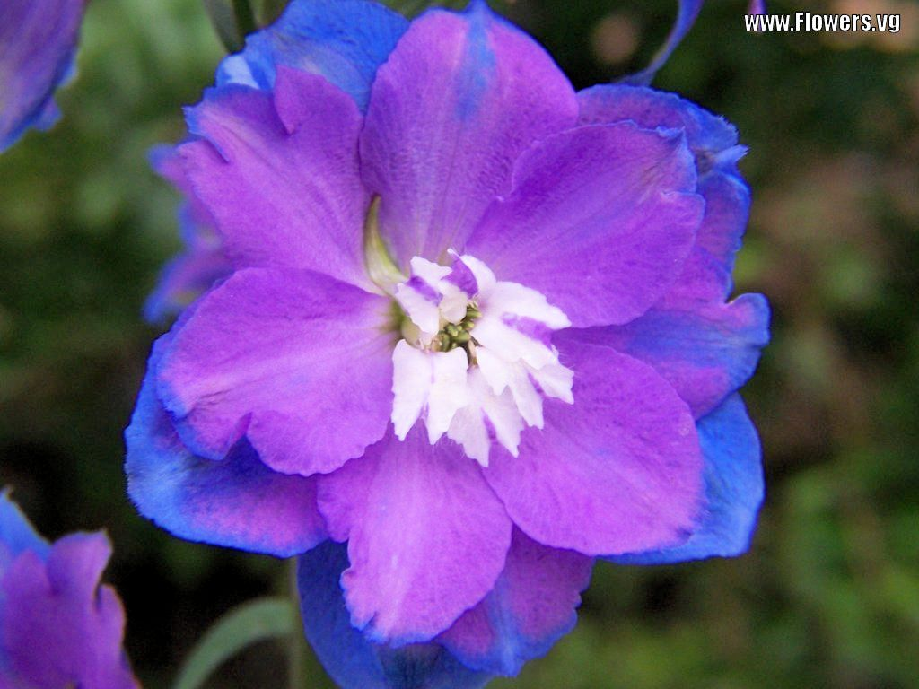 Delphinium Flowers Tweet Purple Blue Delphinium Baby Blue