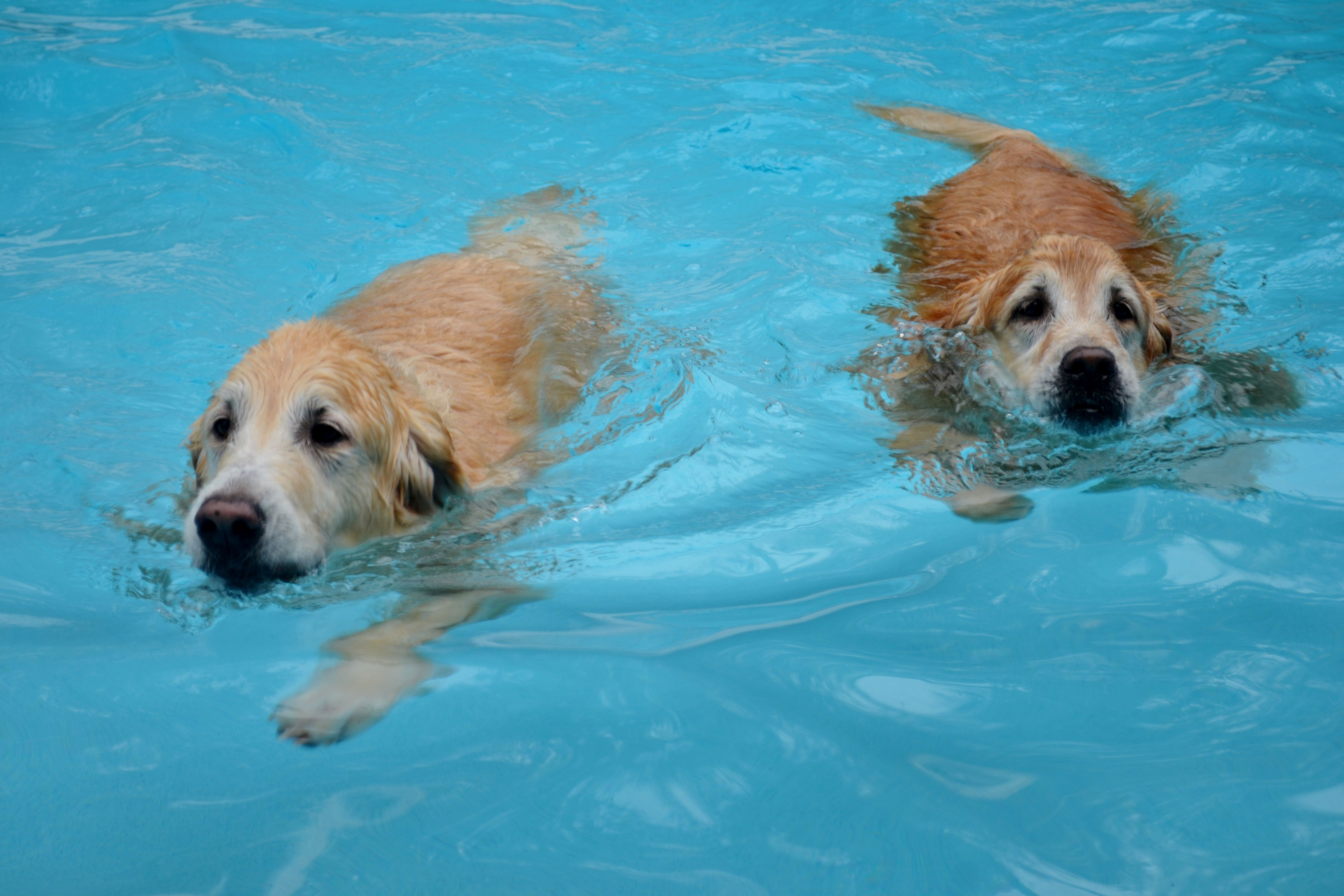 Brie And Bentley Loving Their Swim In Our Friend S Pool In Clearwater Golden Retriever Beautiful Dogs Dog Swimming