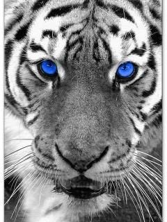 Large White Tigers 3D Lenticular Stalking Twin and Tiger Face Pictures Gift NEW