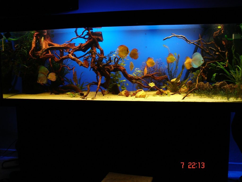 Discus tank my dream fish tank pinterest discus for Dream of fish tank