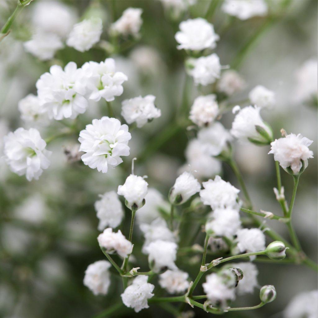 Allium Ampeloprasum Babys Breath Flowers Babys Breath Baby S Breath Plant