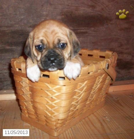Puggle Puppy For Sale Puggle Puppies For Sale Puggle Puppies