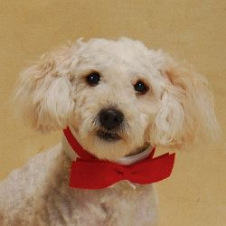 Adopt Stroodle On Poodle Mix Animals Dogs