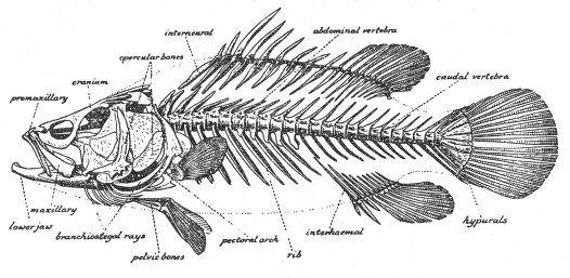 Parts Of A Fish Skeleton Australian Museum Fish Pinterest