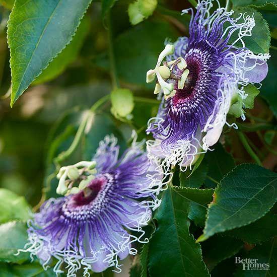 15 Of Our Favorite Flowering Vines