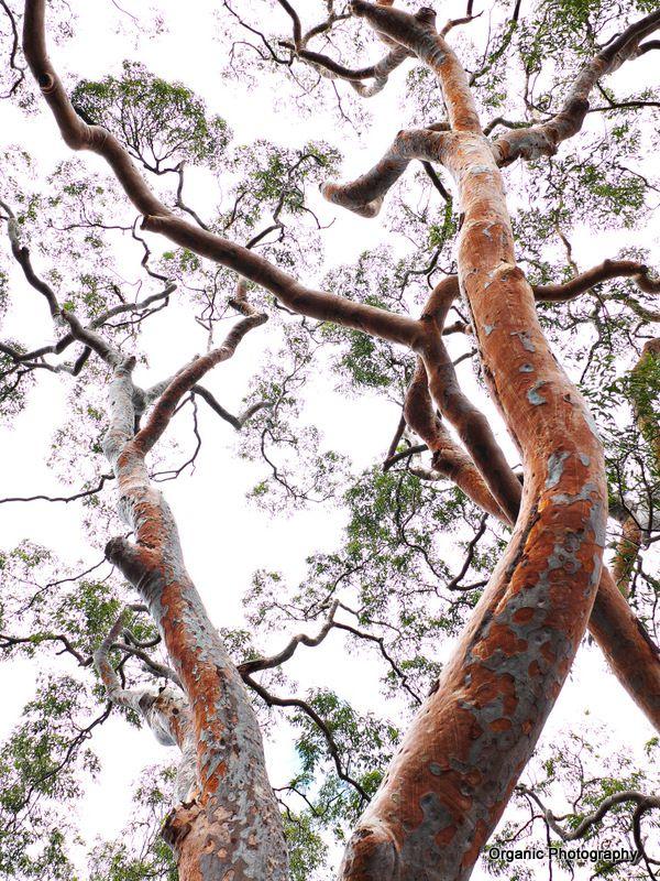 Sydney Red Gum Angophora Costata Eucalyptus Tree Old Trees Garden Inspiration