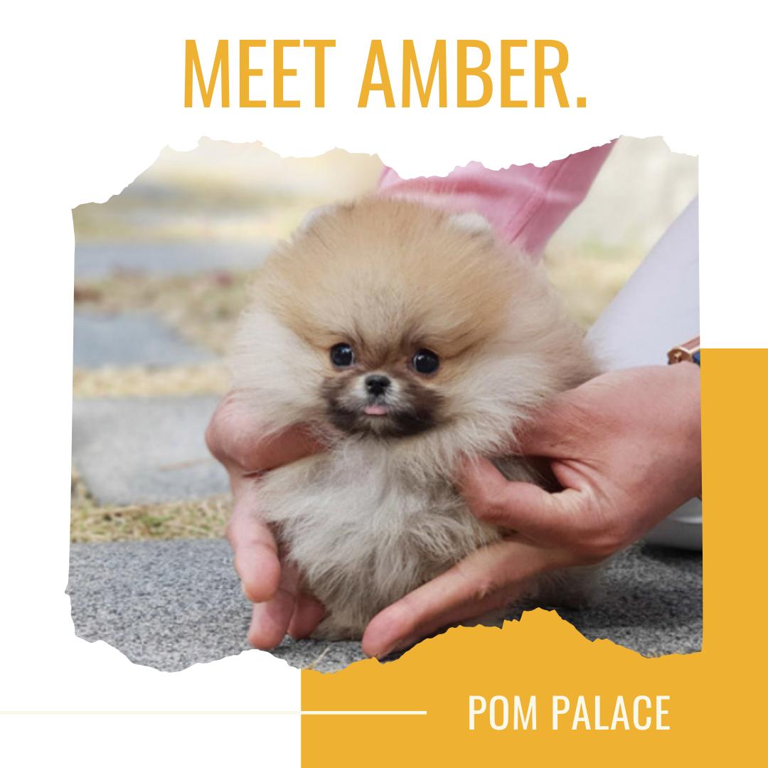 Pomeranian Puppies For Sale Pom Palace Pomeranian Puppy For Sale Pomeranian Puppy Pomchi Puppies