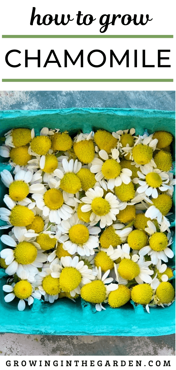 How To Grow Chamomile 5 Tips For Growing Chamomile Growing In The Garden Chamomile Growing Chamomile Plant Chamomile Seeds