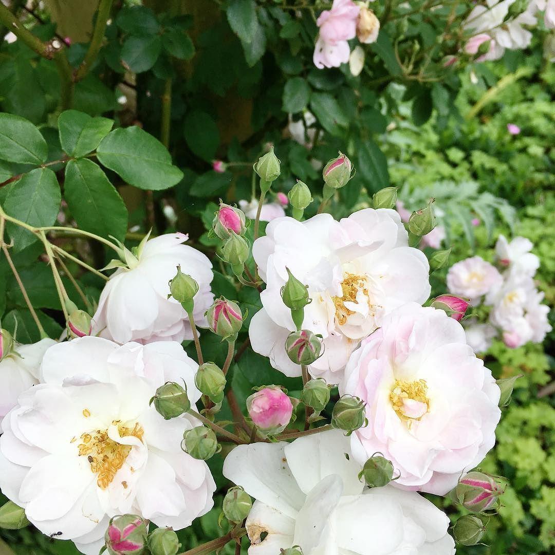 Springsummer Roses In Full Bloom Newzealand Spring Roses