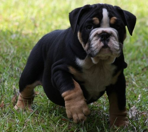 English Bulldog Colors Bing Images Bulldog Puppies Cute