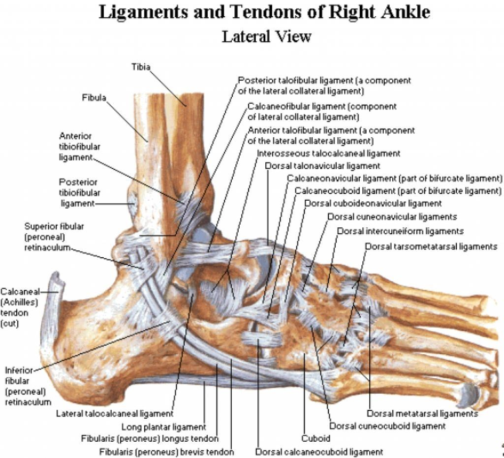 Right Ankle Anatomy Diagram - Wiring Diagram Services •