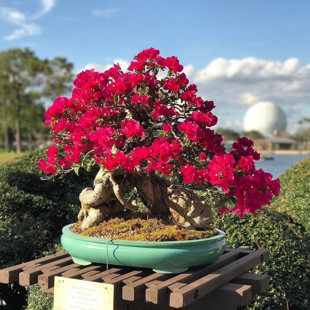 Beautiful Bonsai Plant On Display At Epcot In The Japan Pavilion Freshepcot Beautiful Plant Bonsai Flowers Disney Disneyworl Bonsai Plants Plants Epcot