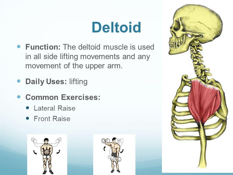 Image Result For Deltoid Function Anatomy Pinterest