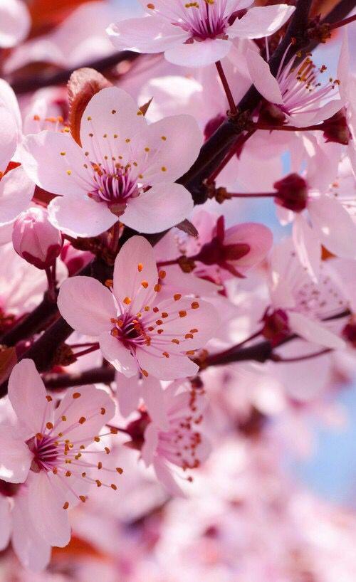#sakura#sakuranohana#cherryblossom#kirschblueten