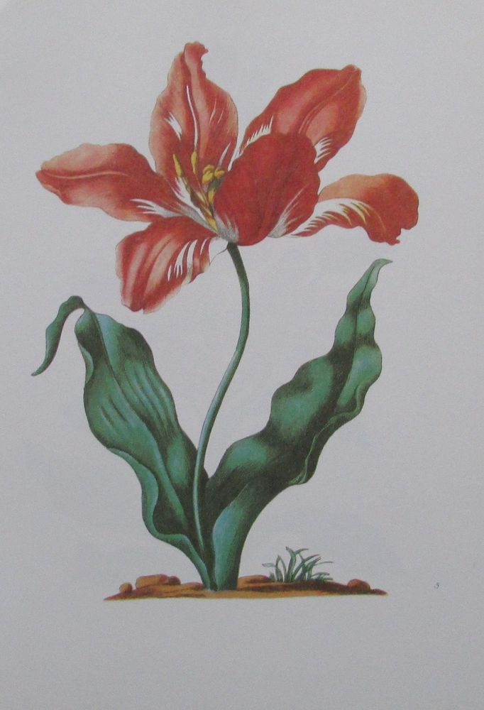 Details zu Maria Sibylla Merian TULIPAN Nachdruck print Tulpe Blume ...