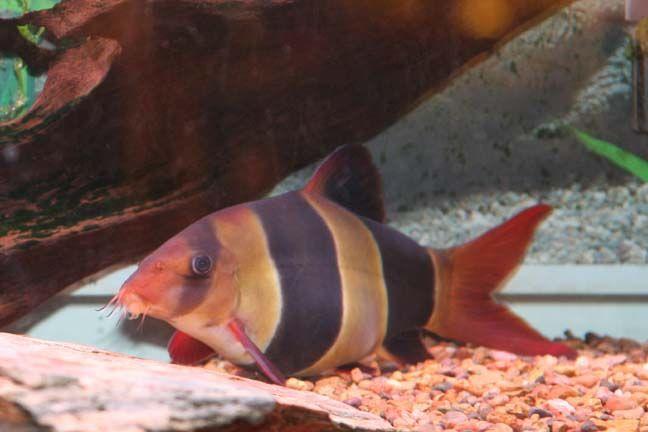 Gallery For Clown Loach Sleeping Clown Loach Aquarium Fish Tropical Fish
