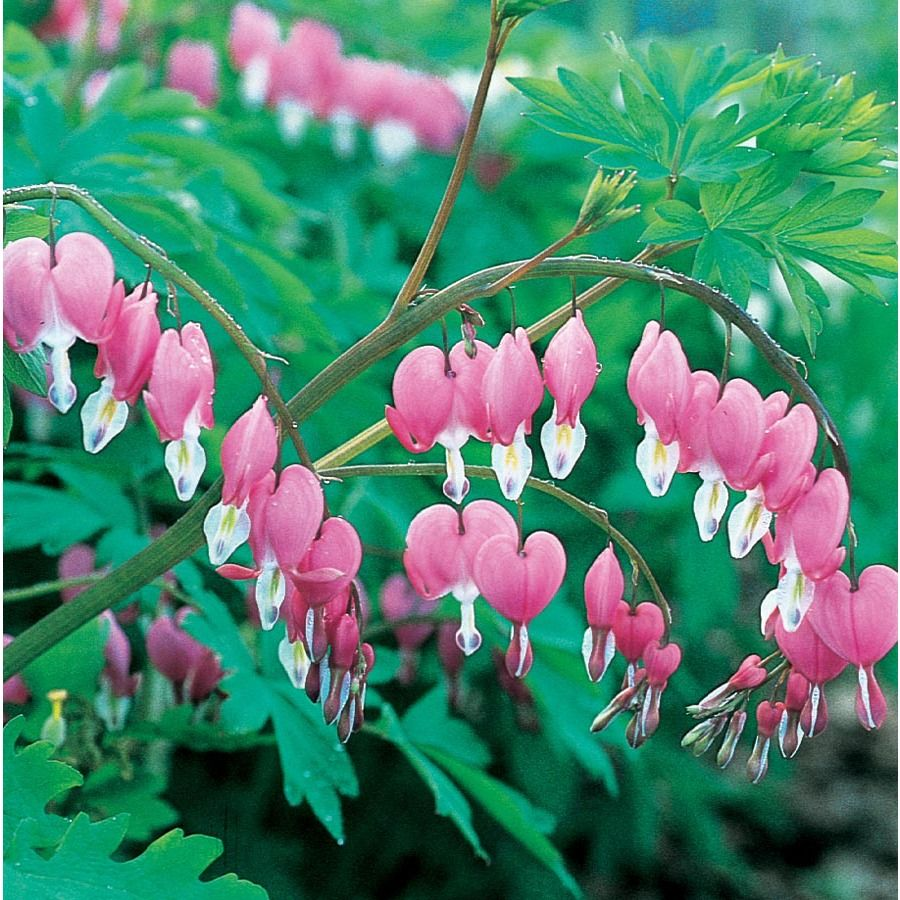 1 Count Formosa Bleeding Heart Bulbs Lw00553 At Lowes Com With Images Bleeding Heart Winter Plants Fall Plants