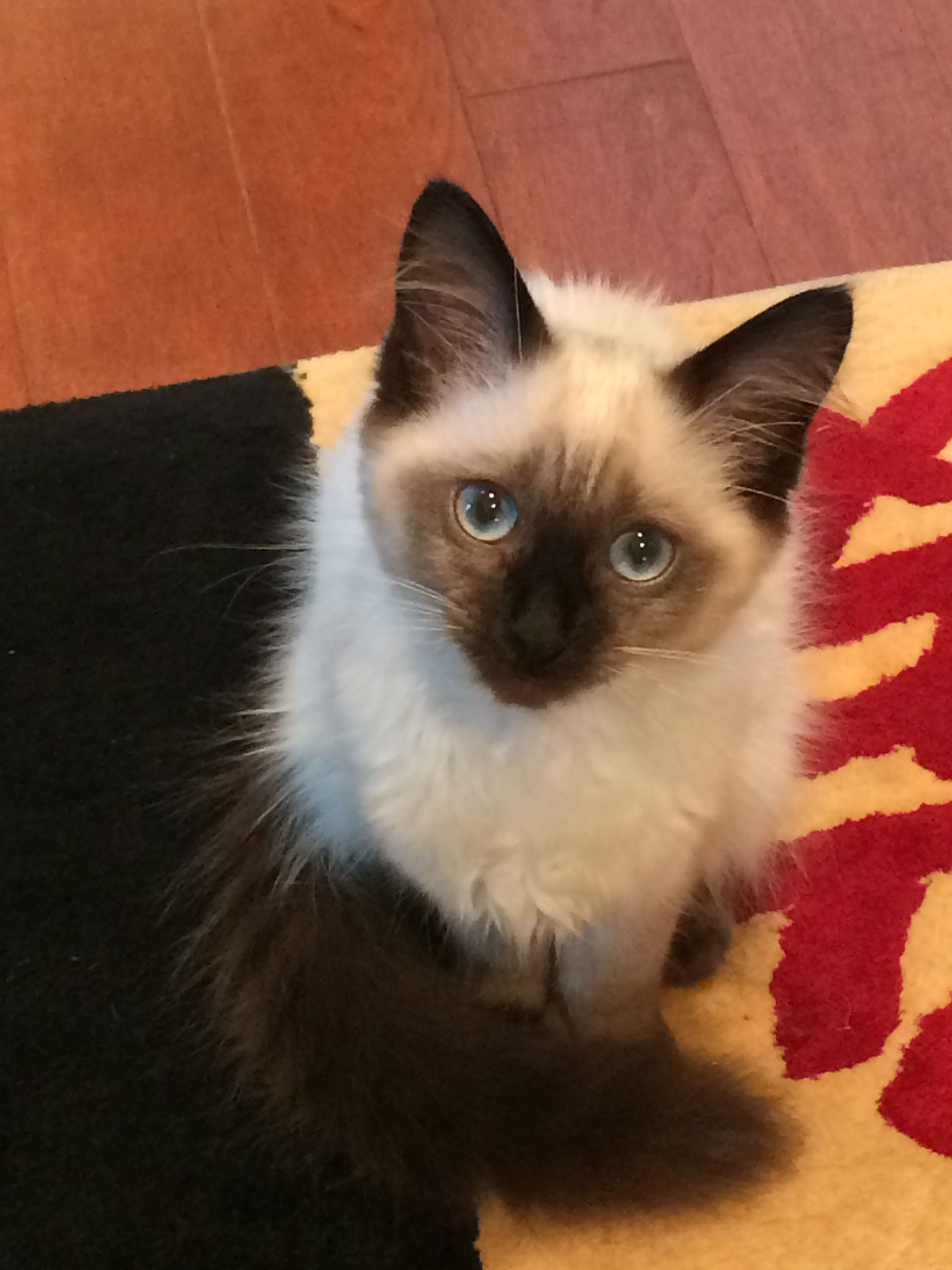Meet Our 5 Month Old Seal Point Balinese Kitten Phoebe Love Pretty Cats Cats Balinese Cat