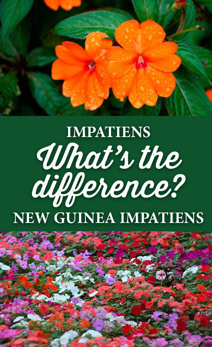 What is the difference between regular impatiens and new guinea what is the difference between regular impatiens and new guinea impatiens izmirmasajfo