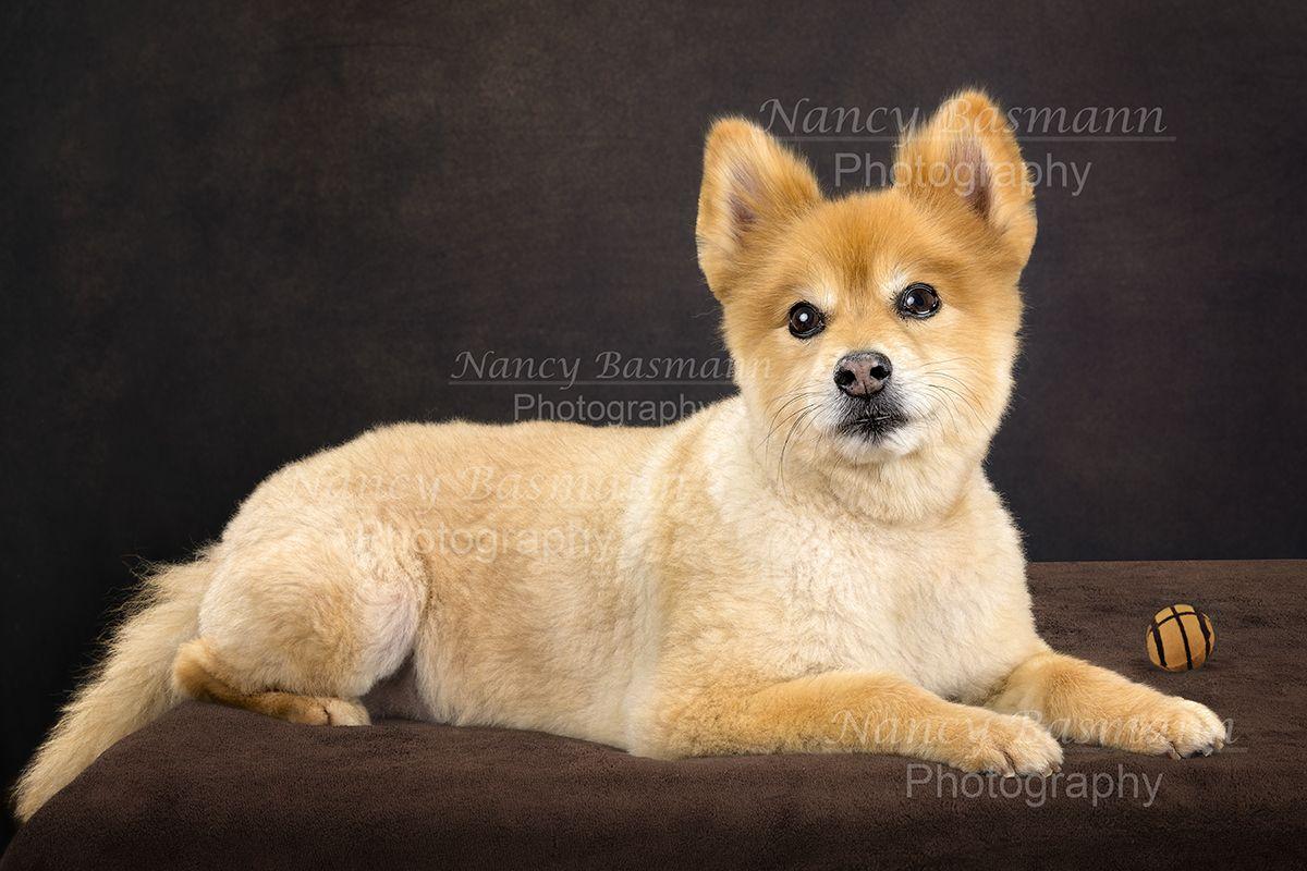 Kuma Pacenza Pomerian Pets Animal Photography Corgi